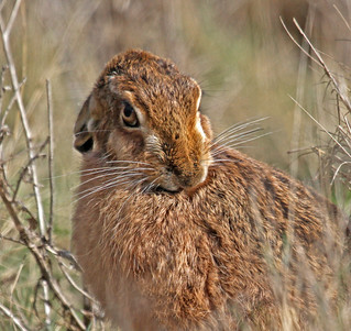 Hare looking at me