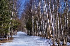 Spring feeling on the Greenbelt trails (beyondhue) Tags: blue trees winter sky sun snow ontario canada ice spring day path wildlife ottawa trail swamp greenbelt stony birch melt beyondhue