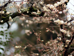 (Marie Eve K.A. (Away)) Tags: blur flower tree nature japan kyoto dof bokeh f14 85mm teaceremony annual olympuspen ume 2012 planar ep2 nodate plumblossoms japaneseapricot baikasai carlzeiss feb25 kitanotenmangushrine prunusmume february25th outdoorteaparty plumblossomsfestival plumflowersfestival