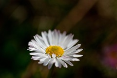 (miky199 ) Tags: flowers flower primavera canon eos crocus springs daisy fiori fiore petali venezia margherita giulia friuli udine vegetazione 50d canonef100mmf28lisusm