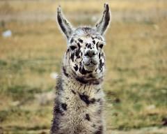 Head Shot (Mertonian) Tags: robert grass canon headshot lama spotted cowlishaw mertonian sx40hs canonsx40hs robertcowlishaw monkofthewestdesertcom