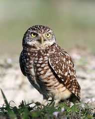 Burrowing Owl (mattlev12) Tags: owl burrowingowl