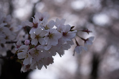 IMGP6910 (Amad) Tags: flower japan spring   sakura kiryu