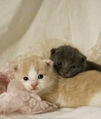 20100415_9999_50b (Fantasyfan.) Tags: sabrina cute animals topv111 sisters furry topv555 topv333 babies fluffy kittens friendly wäinö fantasyfanin highqualityanimals siirretty