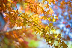 Maple Bokeh (norsez (Thank you for 7,000 views)) Tags: china 35mm lens thailand aperture raw fuji shanghai bokeh f14 thai finished hangzhou fujifilm fujinon xf cmos xp1 fastlens apsc xpro1 xtrans thaiphotographer xmount 52mmequivalent fujixpro1 fujifilmxpro1 nikworkflow
