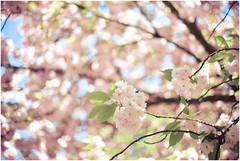 #5 (Exposed Fragments) Tags: pink flowers rose japan fleurs dof bokeh depthoffield cherryblossoms printemps japon cherrytree springtime cerisier d600