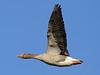 Greylag Goose, Creaking Gate Lake (Norfolk), 6-Apr-13 (Dave Appleton) Tags: lake bird birds geese gate norfolk goose anser anseranser wildfowl greylag greylaggoose bittering creaking creakinggatelake
