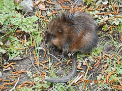 Wildlife! (Holy Outlaw) Tags: restoration meh muskrat wetland ondatrazibethicus unionbaynaturalarea ubna ravennacreek esrm479 universityslough parkingareae5