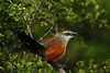 White-browed Coucal (Rainbirder) Tags: kenya ngc npc whitebrowedcoucal centropussuperciliosus solioranch avianexcellence rainbirder