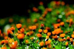 (yuji katabuchi) Tags: orange green nature nikon boken d800