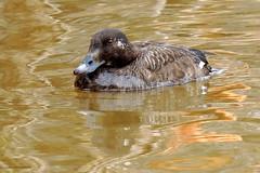 Surf Scoter (Lois McNaught) Tags: canada bird water duck surf pattern avian scoter