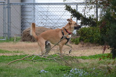 Sam (Tobyotter) Tags: dog sam canine germanshepherd