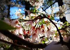 Sakura Blossoms Focused (peachgirl13) Tags: nature festival japan gardens garden cherry botanical outside outdoors japanese birmingham focus blossom blossoms alabama picasa samsung galaxy sakura focused s4