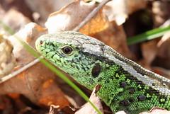 another lizard ( with ticks ) (bugman11) Tags: macro green nature animal animals fauna canon reptile nederland thenetherlands lizard lizards reptiles thegalaxy 100mm28lmacro infinitexposure