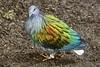 Nicobar pigeon (ucumari photography) Tags: bird animal zoo nc north carolina april 2016 nicobarpigeon specanimal ucumariphotography dsc6006