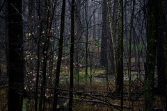 In the thick of it... (Alvin Harp) Tags: mist nature moody natur haunted april magical stillness forlorn darkforest 2016 teamsony sonya7rii alvinharp