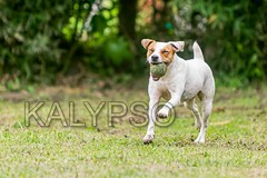 Jack Russell Terrier Female Dog Running In A Meadow (kalypsoworldphotography) Tags: dog sun playing game smart closeup female forest training ball pose fun outdoors freedom jumping play angle action outdoor expression walk background air joy meadow adorable sunny canine running run scene terrier strong tennisball excitement powerful leap isolated jackrussellterrier alert active pedigree hypnotized courageous instinct agile obedient energetic alertness parsonterrier