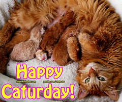 Athena nursing her newborn kittens. #gingerkittiesfour (youtube.com/utahactor) Tags: red orange cats pets cute animals yellow cat mackerel feline tabby kittens gato gata gingerkitty gingerkittiesfour