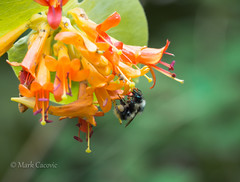 Bee and honeysuckle (Mark Cacovic) Tags: macro nature insect victoria bee polen honeysuckle pollination 2016