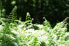 Fern fronds at Riverbend CPA (USFWS/Southeast) Tags: plant bogs pitcher usfishandwildlfieservice