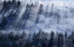 Under spotlights (JD Photographie.) Tags: wood morning blue trees mist mountain france tree fog clouds forest montagne sunrise europe bleu ciel nuages mont languedoc fort gard languedocroussillon cvennes aigoual