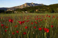 Sur les pas de Paul Cezanne (Philis.Nat) Tags: france montagne canon la sainte provence fin aprsmidi aix champ victoire calcaire coquelicots eos7d