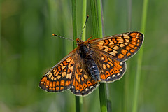 Euphydryas aurinia - the Marsh Fritillary (BugsAlive) Tags: uk macro nature animal butterfly insect outdoor wildlife butterflies insects lepidoptera wiltshire nymphalidae nymphalinae marshfritillary euphydryasaurinia liveinsects