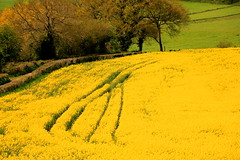 Yellow Spread (acwills2014) Tags: green yellow countryside spring colours tracks hedge rapeseed hedgerows