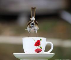 robin bum tea cup (Simon Dell Photography) Tags: uk england simon nature birds photography pentax photos wildlife sheffield may sigma apo dell xxx dg 2016 k50 s12 hsm hackenthorpe 150500mm