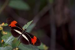 Butterfly (sostenesmonteiro) Tags: nature butterfly nikon natureza borboleta buterfly borboletas d5200 sostenesmonteiro totecmt