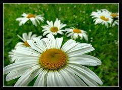 Margeriten wild im Garten (karin_b1966) Tags: plant flower nature garden blossom natur pflanze blume wildflower blte garten 2016 margeriten wildblume