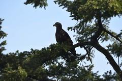 Eagle (careth@2012) Tags: nature nikon britishcolumbia wildlife nikond3300 d3300