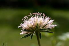 Hellrosa Skabiose - Bright pink pincushion flower (riesebusch) Tags: berlin garten marzahn