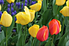 spring's joy and laughter! (MEA Images) Tags: flowers nature gardens canon washington spring flora tulips parks blooms mountvernon springtime skagitvalleytulipfestival roozengaarde picmonkey