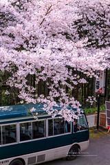 () Tags: japan canon sakura nara worldheritage    japanlandscape   1dx ef70200mmf28isl yoshinosakura