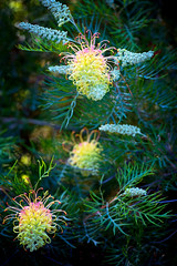 Ashcombe (Pat Charles) Tags: flowers flower color colour macro floral closeup flora nikon glow farm lavender australia melbourne victoria redhill maze morningtonpeninsula flinders shoreham ashcombe