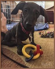 Roxie (Sugardxn) Tags: dog animals puppy canine dachshund wirehaired pup brindle animalplanet wienerdog roxie doxies dachshunds iphone doxie floorplay garypentin
