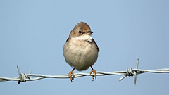 Whitethroat (NickWakeling) Tags: nature birds wildlife norfolk whitethroat oldcatton canon60d sigma150600mmf563dgoshsmcontemporary