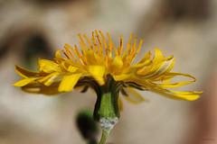 Wild flower 2/2 (Franco Gavioli) Tags: flower macro sicily augusta fiore sicilia francesco 2016 gavioli canonef100mmf28macrousm fragavio canoneos600d