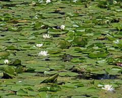 Tenney Walk 06.04.16 011 (kg.hill50) Tags: park lake nature wisconsin historic madison recreation mendota danecounty yahara