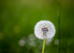 Lonely blow ball (Princessa Pea (more off than on for a while)) Tags: 0321 2016 blowball dandelionclock bokeh