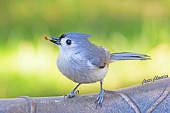 Tufted Titmouse with Mealworm (--Anne--) Tags: cute nature birds animals wildlife titmouse tuftedtitmouse titmice