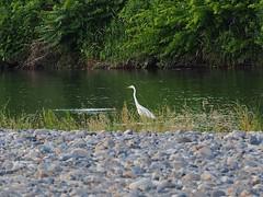 Great egret () (Greg Peterson in Japan) Tags: birds wildlife rivers deba ritto egretsandherons yasugawa