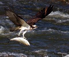 IMG_6686 Osprey with fish (cmsheehyjr) Tags: bird nature virginia hawk wildlife richmond osprey pandionhaliaetus jamesriver fishhawk floodwall colemansheehy cmsheehy