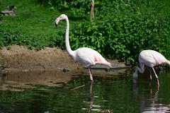 Flamingo (meccabolix) Tags: g sony fe 70300mm oss f4556 a7rii sel70300g