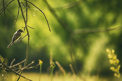 Taking in the View (flashfix) Tags: trees portrait ontario canada green bird nature field grass animal nikon bokeh branches ottawa finch mothernature 2016 d7000 55mm300mm 2016inphotos june232016