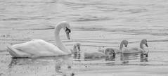 DSC05095 (intmilkbrill) Tags: swan cygnet swanling