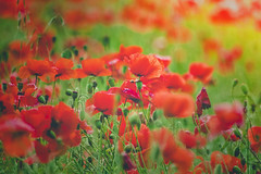 smutek, smuteczek (Smo_Q) Tags: field was maki poland polska poppies polen  pentaxk3ii