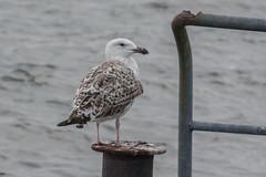 Great black-backed gull (katyarud) Tags: travel bird birds usedom greatblackbackedgull larusmarinus laridae  charadriiformes