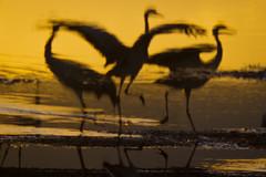 Gold at Agamon (little lake) HaHula (Flavio~) Tags: nature birds sunrise cranes hulalake agamonhahula